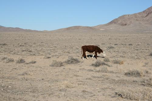 Одинокая корова